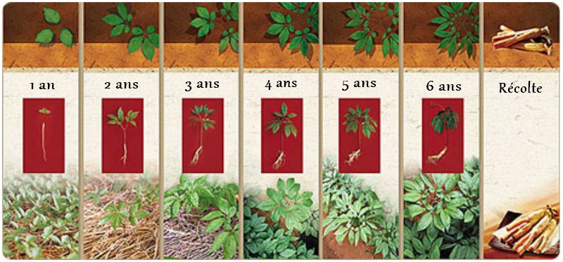 croissance du ginseng jusqu'à 6 ans