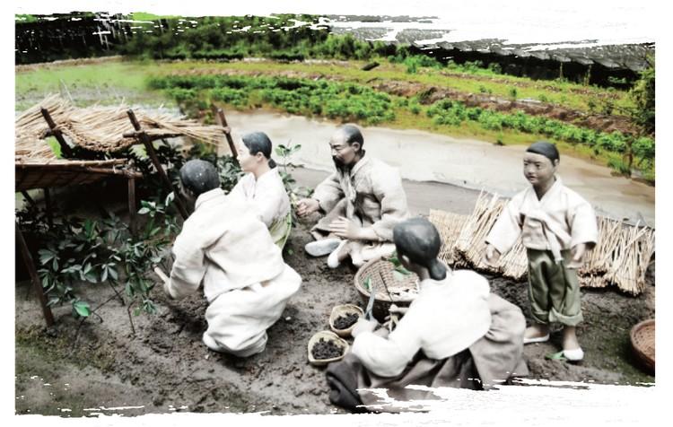 Culture du ginseng - étape 7