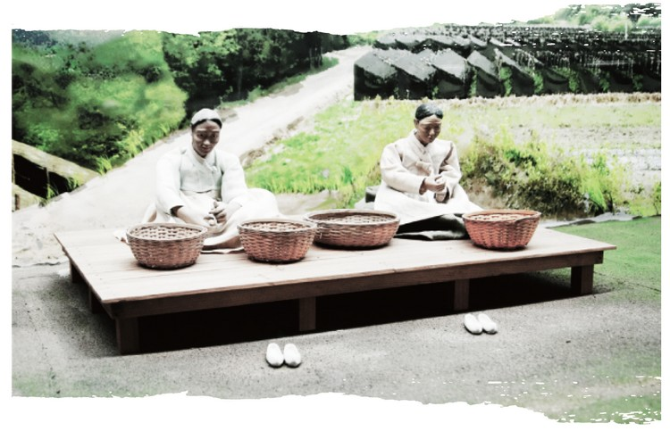 Culture du ginseng - étape 8