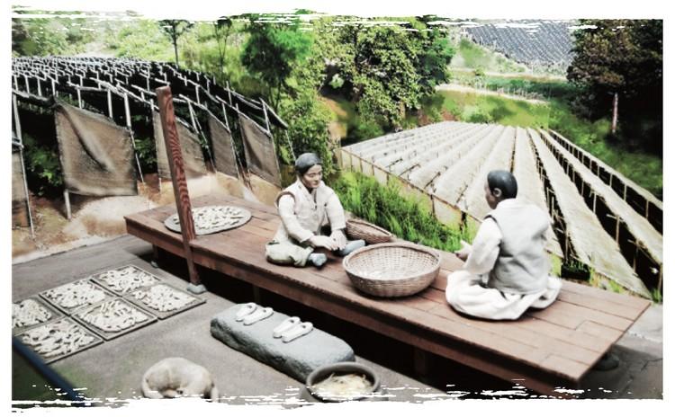 Culture du ginseng - étape 9