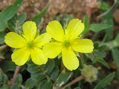 Tribulus terrestris : les bienfaits de la plante stimulant la ...
